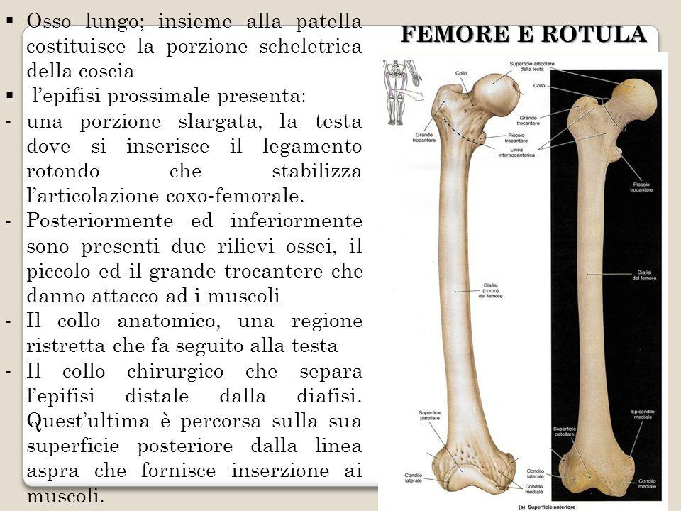 Osso lungo; insieme alla patella costituisce la porzione scheletrica della coscia