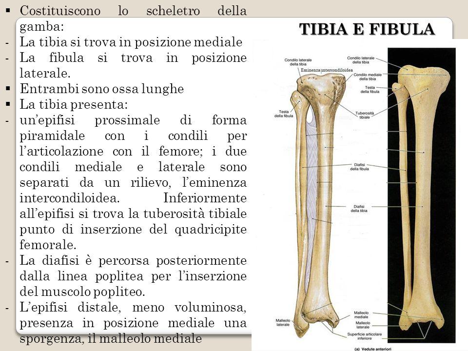 TIBIA E FIBULA Costituiscono lo scheletro della gamba: