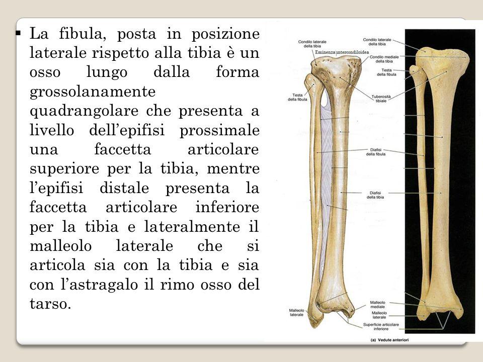 La fibula, posta in posizione laterale rispetto alla tibia è un osso lungo dalla forma grossolanamente quadrangolare che presenta a livello dell'epifisi prossimale una faccetta articolare superiore per la tibia, mentre l'epifisi distale presenta la faccetta articolare inferiore per la tibia e lateralmente il malleolo laterale che si articola sia con la tibia e sia con l'astragalo il rimo osso del tarso.