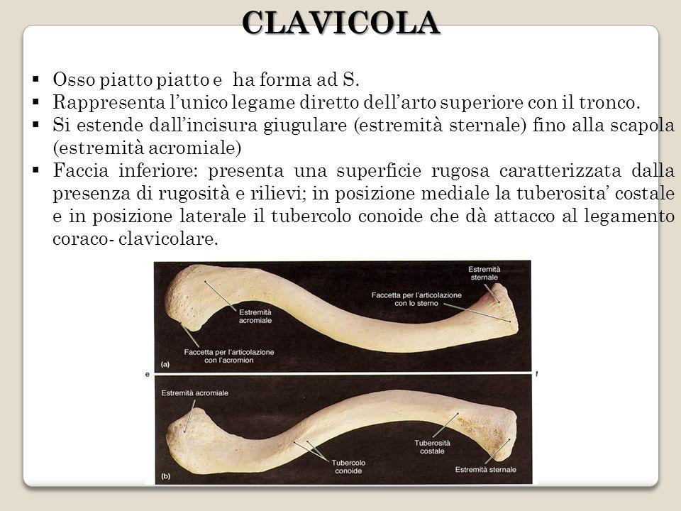 CLAVICOLA Osso piatto piatto e ha forma ad S.