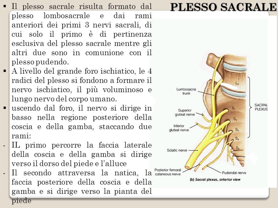 Il plesso sacrale risulta formato dal plesso lombosacrale e dai rami anteriori dei primi 3 nervi sacrali, di cui solo il primo è di pertinenza esclusiva del plesso sacrale mentre gli altri due sono in comunione con il plesso pudendo.