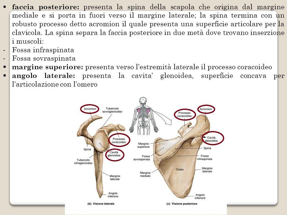 faccia posteriore: presenta la spina della scapola che origina dal margine mediale e si porta in fuori verso il margine laterale; la spina termina con un robusto processo detto acromion il quale presenta una superficie articolare per la clavicola. La spina separa la faccia posteriore in due metà dove trovano inserzione i muscoli: