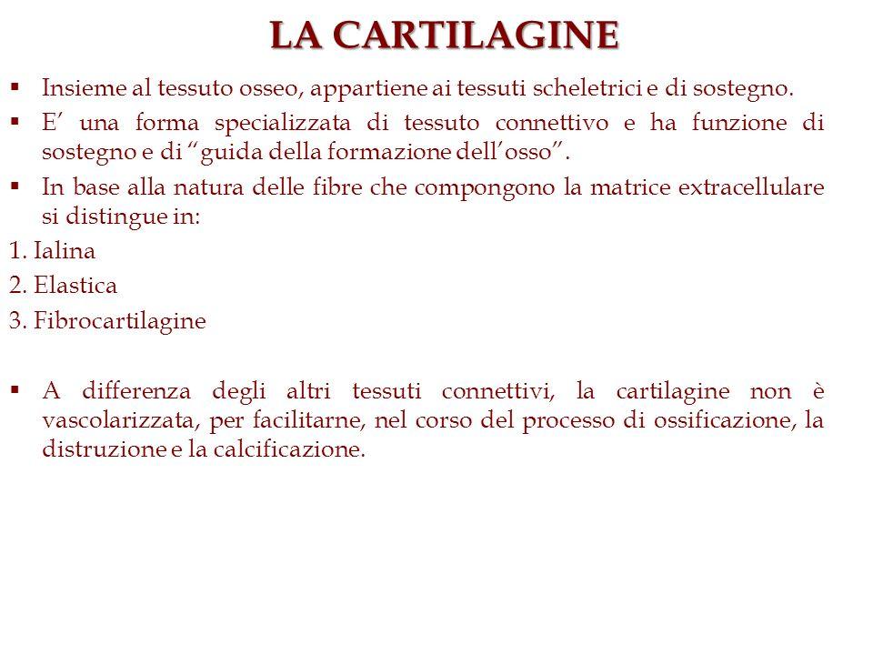 LA CARTILAGINE Insieme al tessuto osseo, appartiene ai tessuti scheletrici e di sostegno.