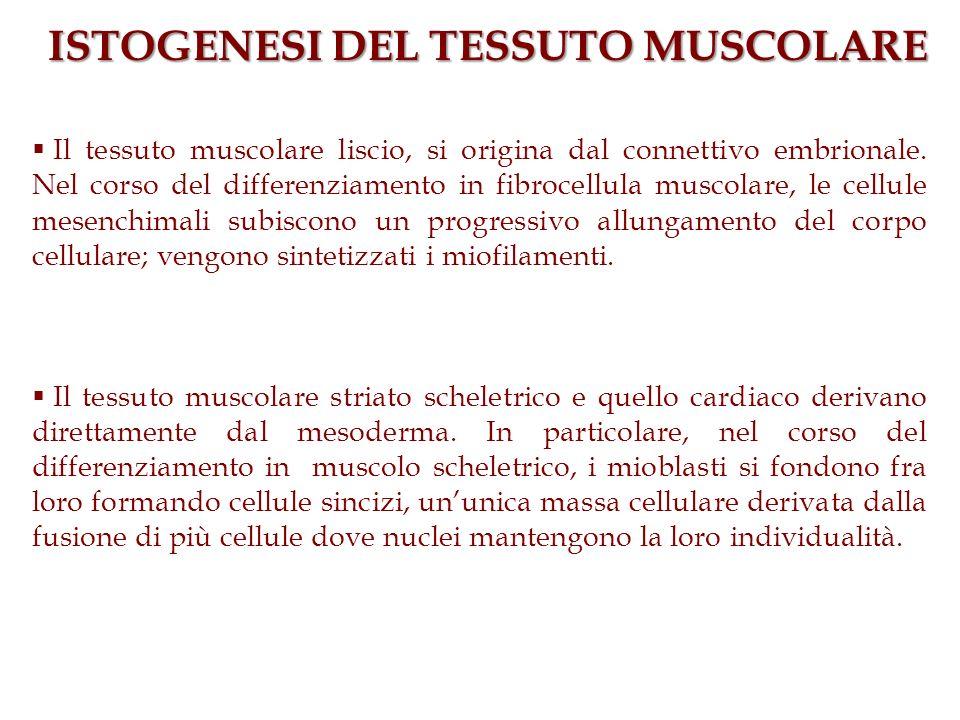 ISTOGENESI DEL TESSUTO MUSCOLARE