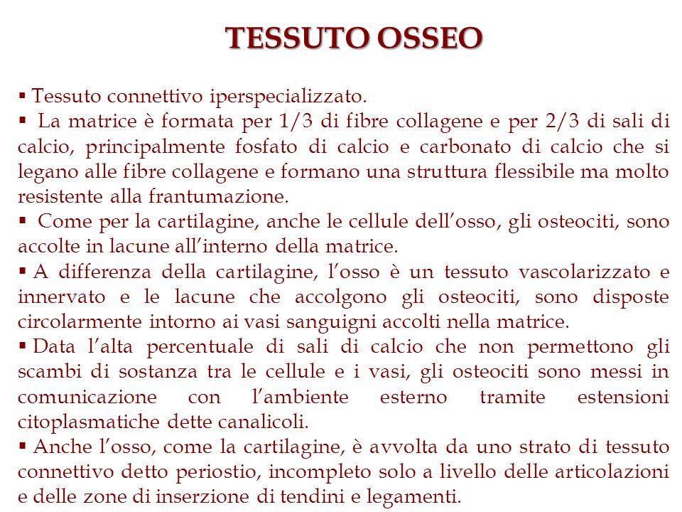 TESSUTO OSSEO Tessuto connettivo iperspecializzato.