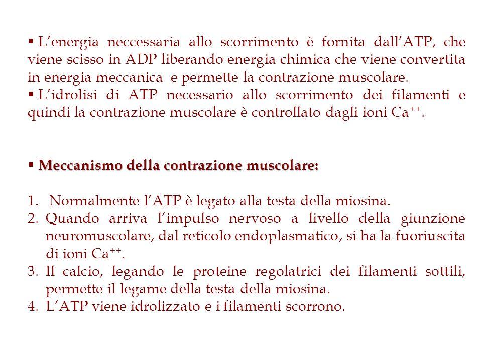 L'energia neccessaria allo scorrimento è fornita dall'ATP, che viene scisso in ADP liberando energia chimica che viene convertita in energia meccanica e permette la contrazione muscolare.