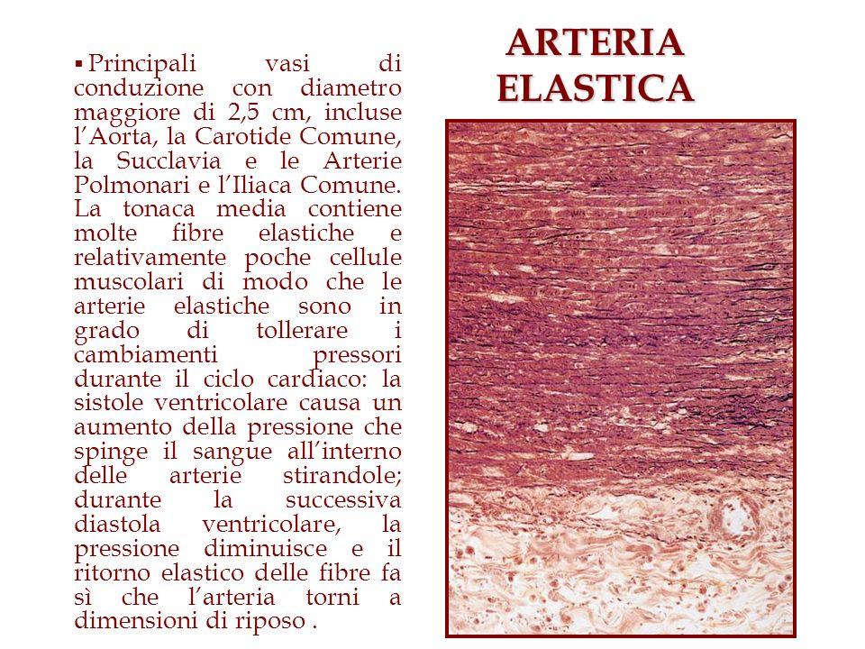 ARTERIA ELASTICA