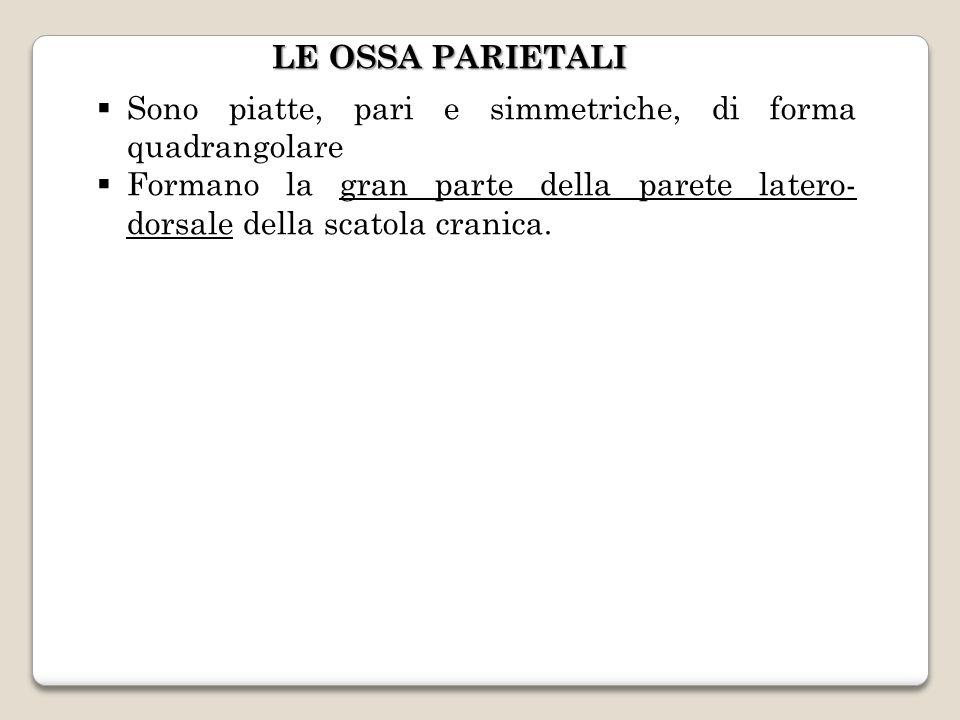 LE OSSA PARIETALI Sono piatte, pari e simmetriche, di forma quadrangolare.