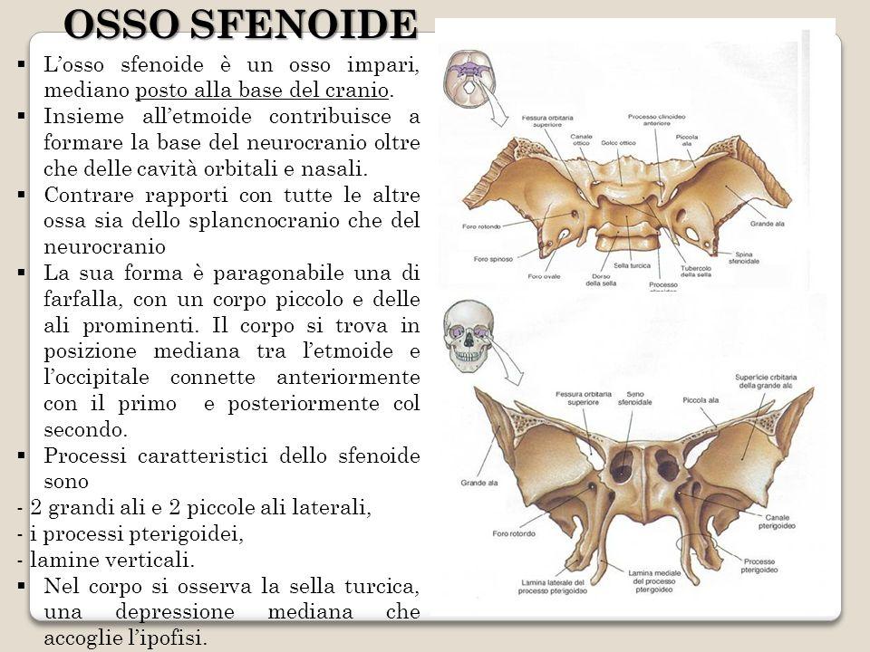 OSSO SFENOIDE L'osso sfenoide è un osso impari, mediano posto alla base del cranio.