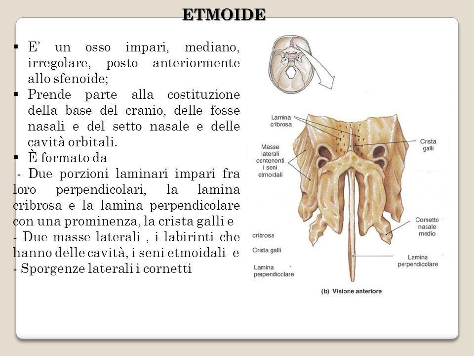 ETMOIDE E' un osso impari, mediano, irregolare, posto anteriormente allo sfenoide;
