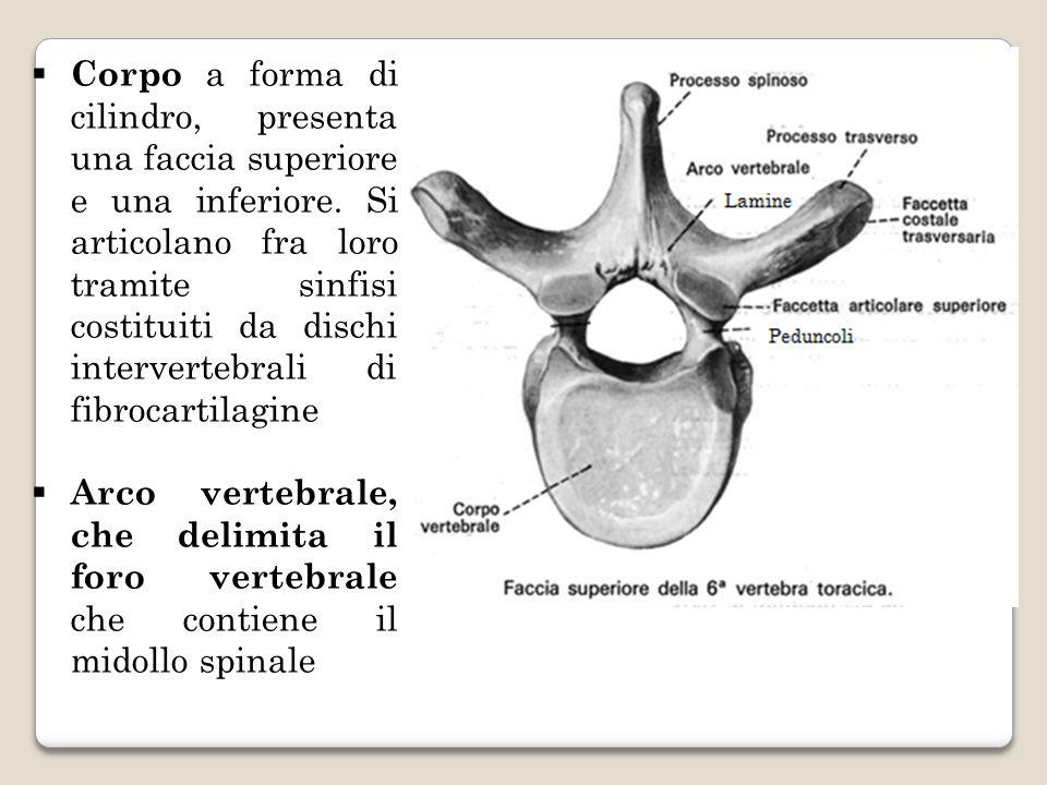 Corpo a forma di cilindro, presenta una faccia superiore e una inferiore. Si articolano fra loro tramite sinfisi costituiti da dischi intervertebrali di fibrocartilagine