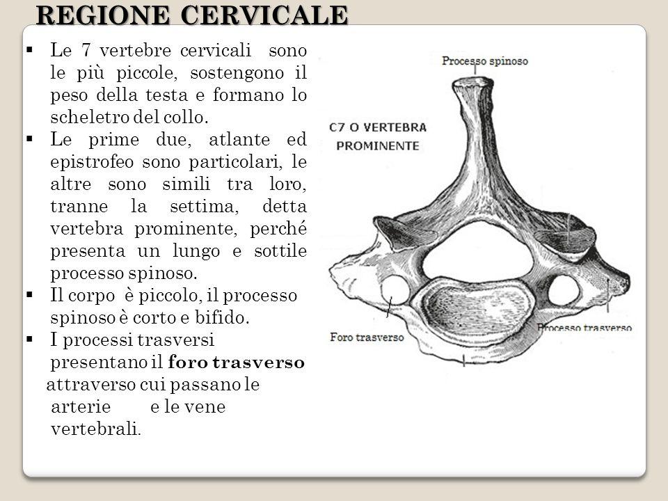 REGIONE CERVICALELe 7 vertebre cervicali sono le più piccole, sostengono il peso della testa e formano lo scheletro del collo.