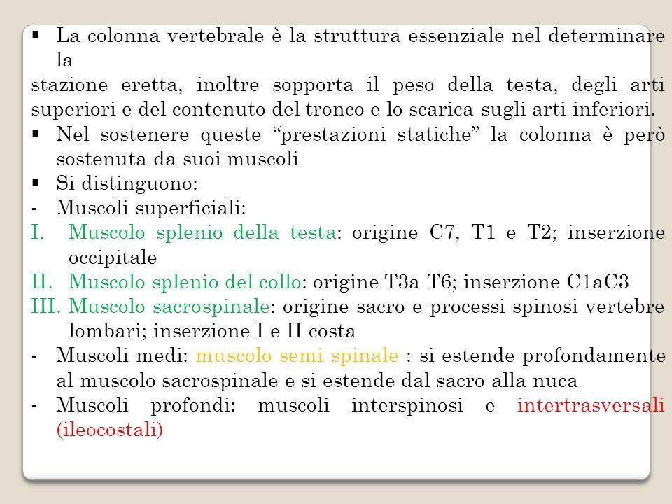 La colonna vertebrale è la struttura essenziale nel determinare la
