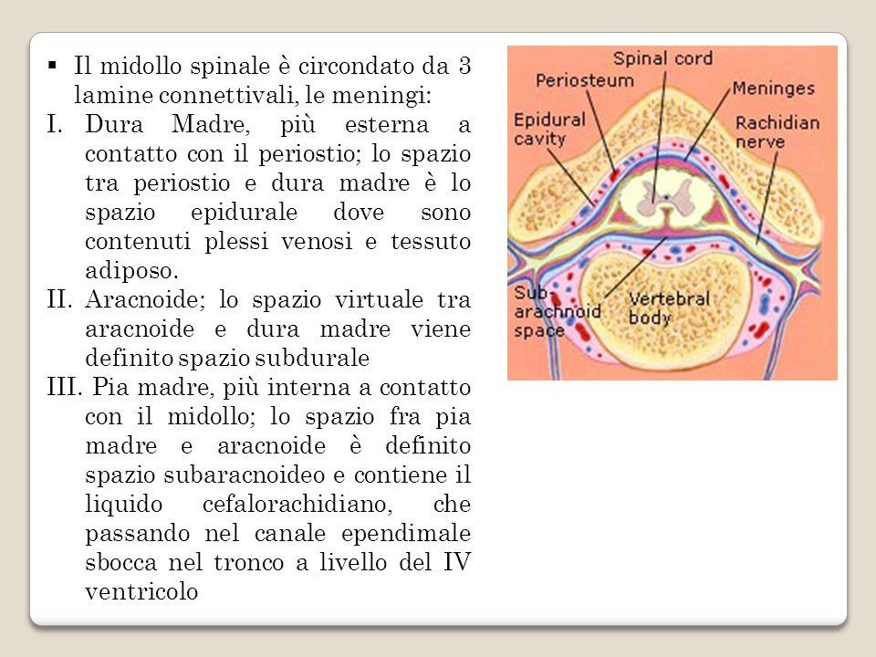 Il midollo spinale è circondato da 3 lamine connettivali, le meningi: