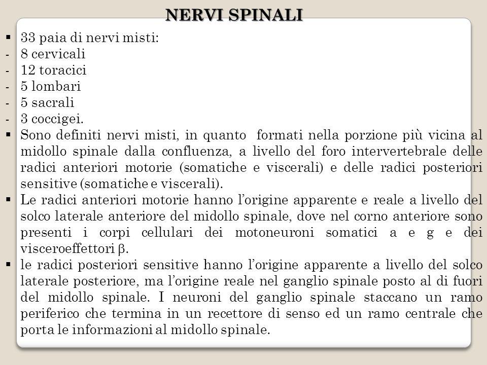 NERVI SPINALI 33 paia di nervi misti: 8 cervicali 12 toracici