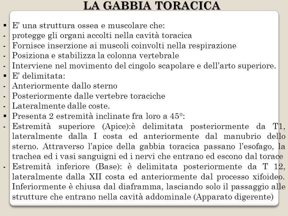 LA GABBIA TORACICA E' una struttura ossea e muscolare che: