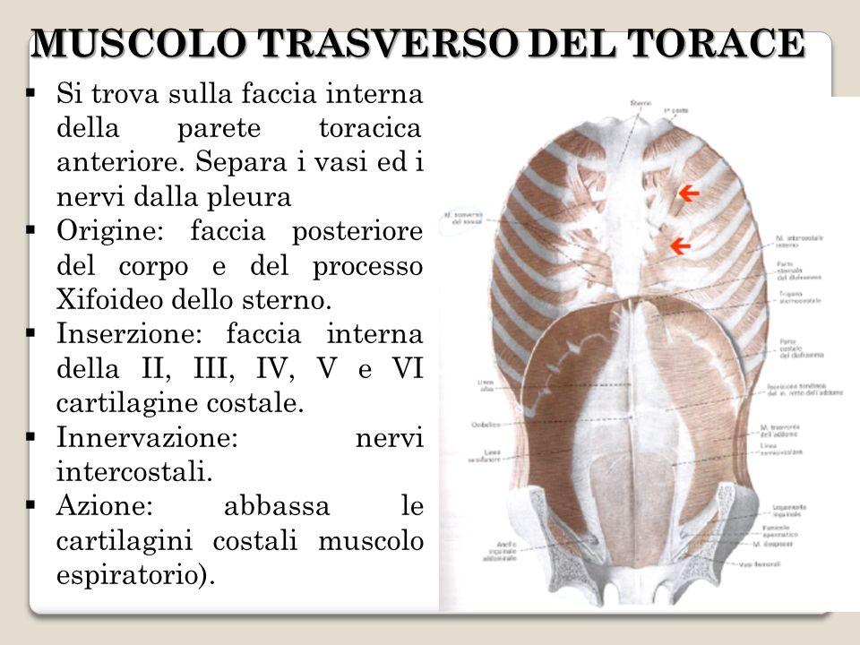 MUSCOLO TRASVERSO DEL TORACE