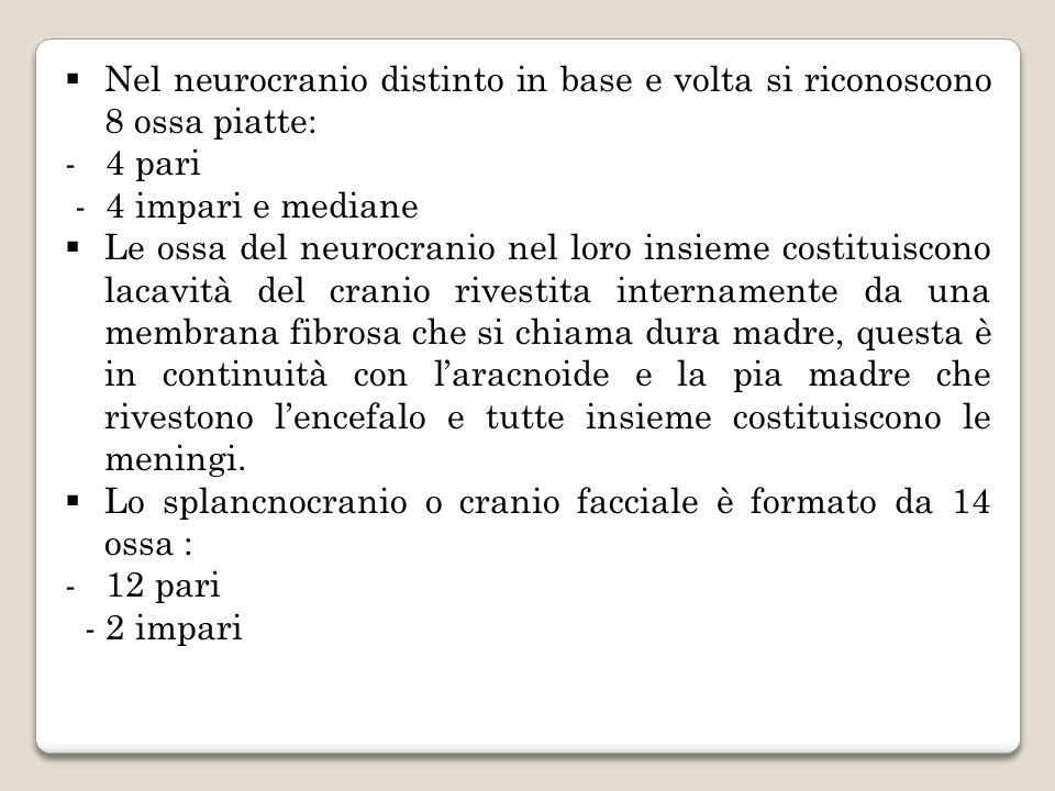 Nel neurocranio distinto in base e volta si riconoscono 8 ossa piatte: