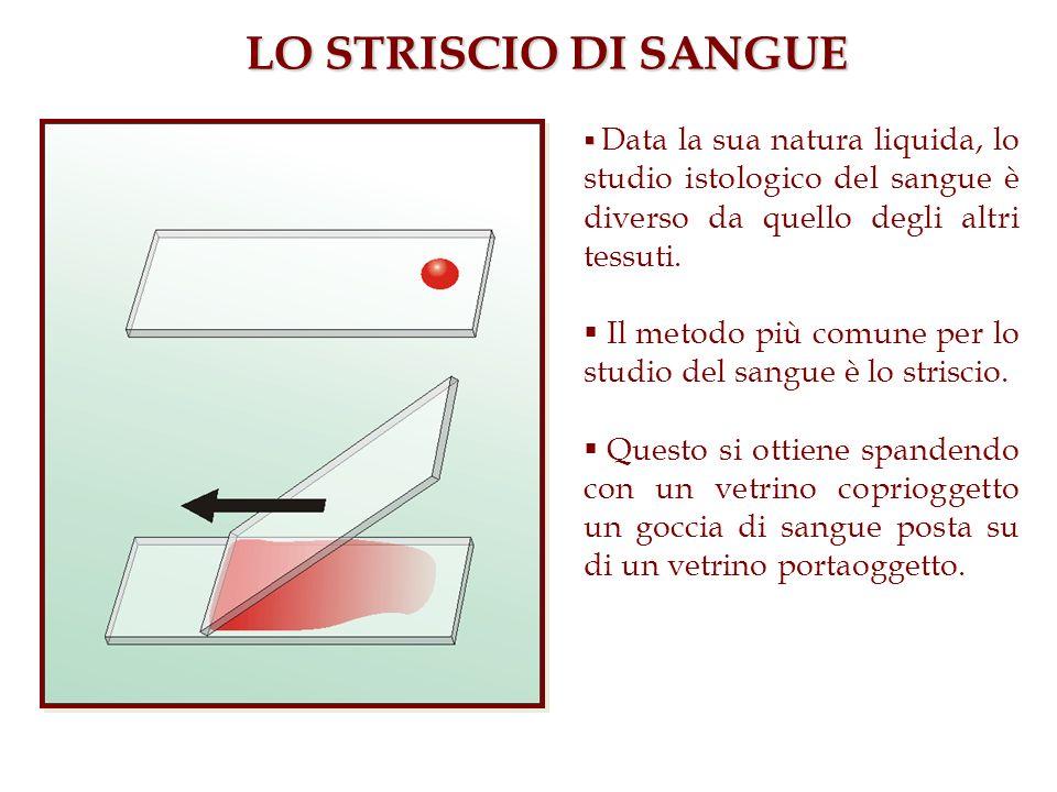 LO STRISCIO DI SANGUEData la sua natura liquida, lo studio istologico del sangue è diverso da quello degli altri tessuti.