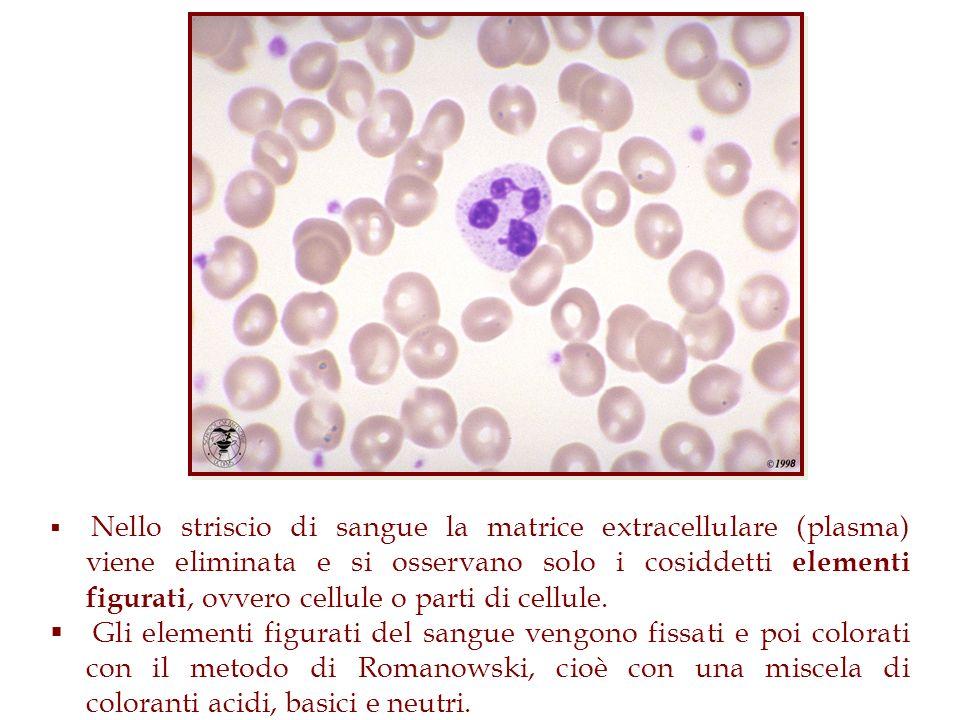 Nello striscio di sangue la matrice extracellulare (plasma) viene eliminata e si osservano solo i cosiddetti elementi figurati, ovvero cellule o parti di cellule.