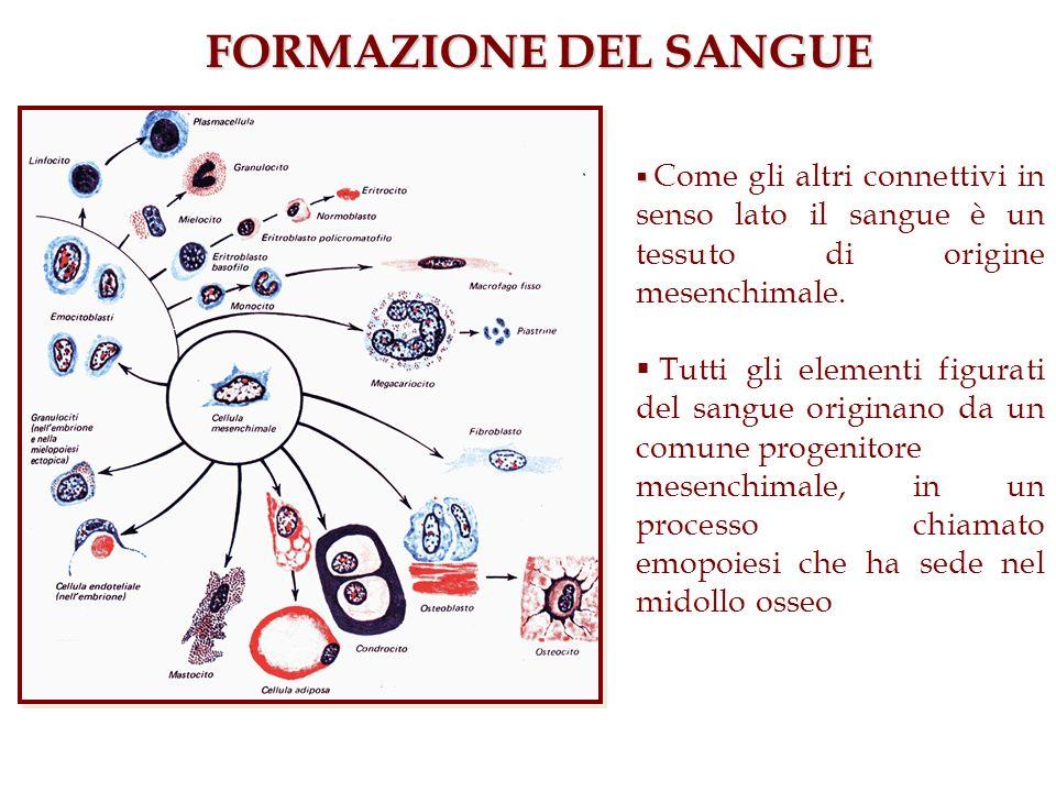 FORMAZIONE DEL SANGUE Come gli altri connettivi in senso lato il sangue è un tessuto di origine mesenchimale.