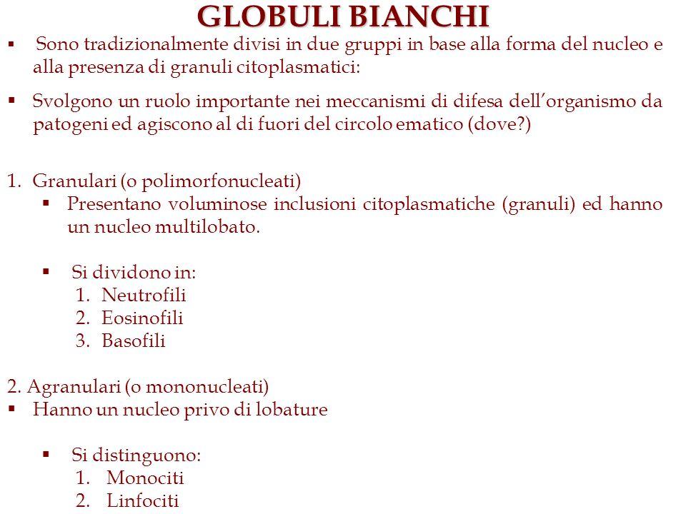 GLOBULI BIANCHISono tradizionalmente divisi in due gruppi in base alla forma del nucleo e alla presenza di granuli citoplasmatici: