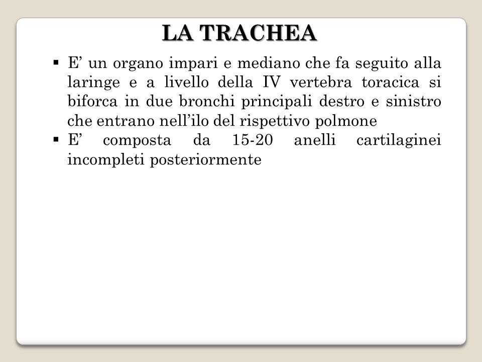 LA TRACHEA