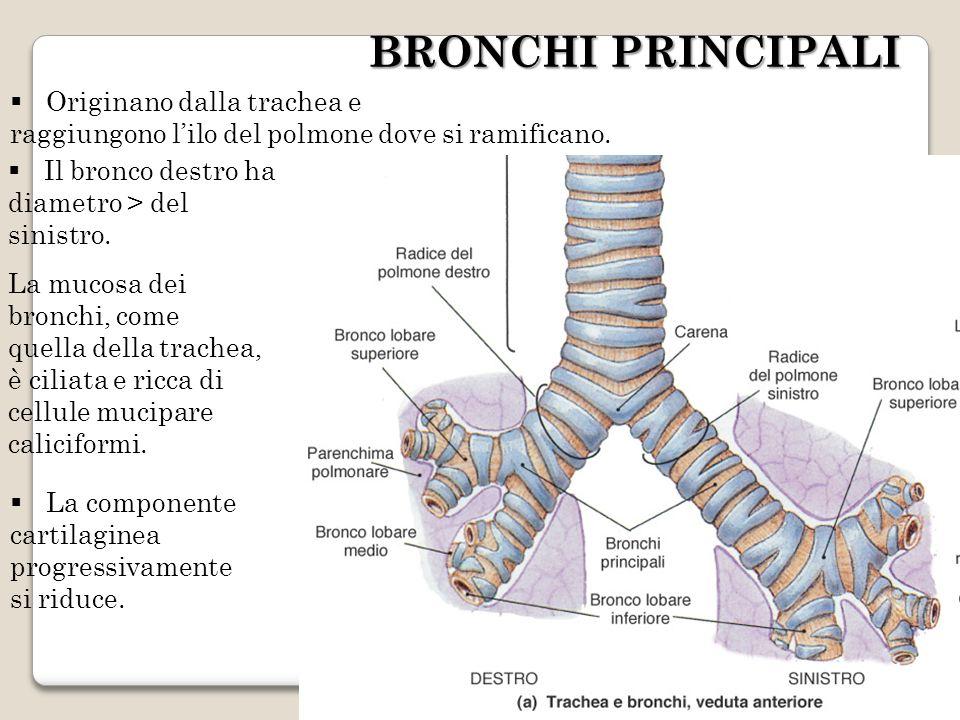 BRONCHI PRINCIPALI Originano dalla trachea e