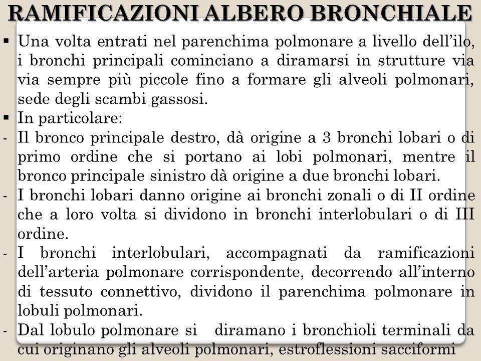 RAMIFICAZIONI ALBERO BRONCHIALE