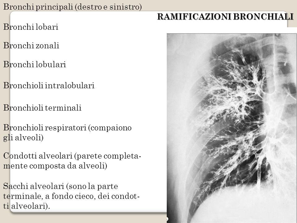 Bronchi principali (destro e sinistro)
