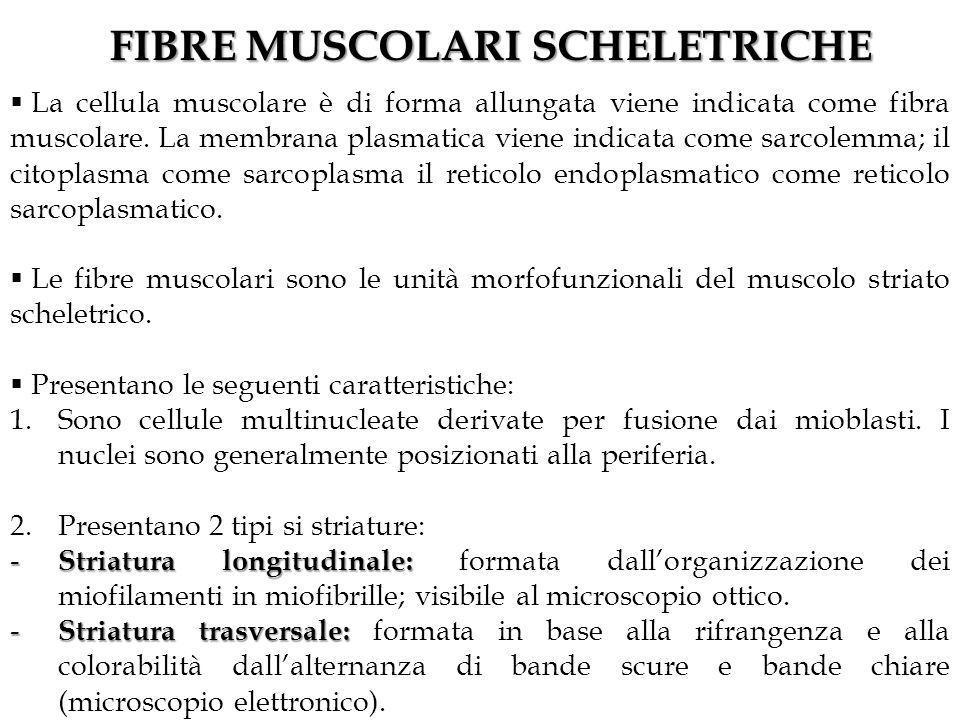FIBRE MUSCOLARI SCHELETRICHE