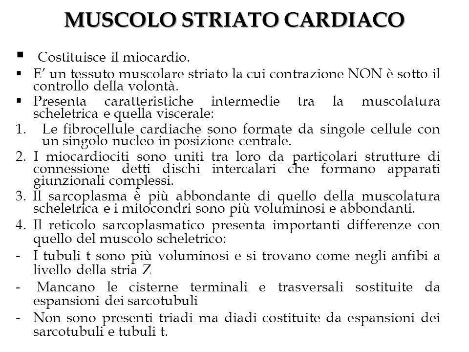 MUSCOLO STRIATO CARDIACO