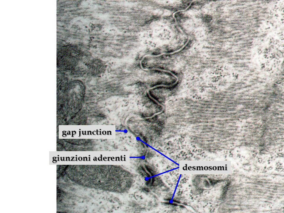 desmosomi gap junction giunzioni aderenti