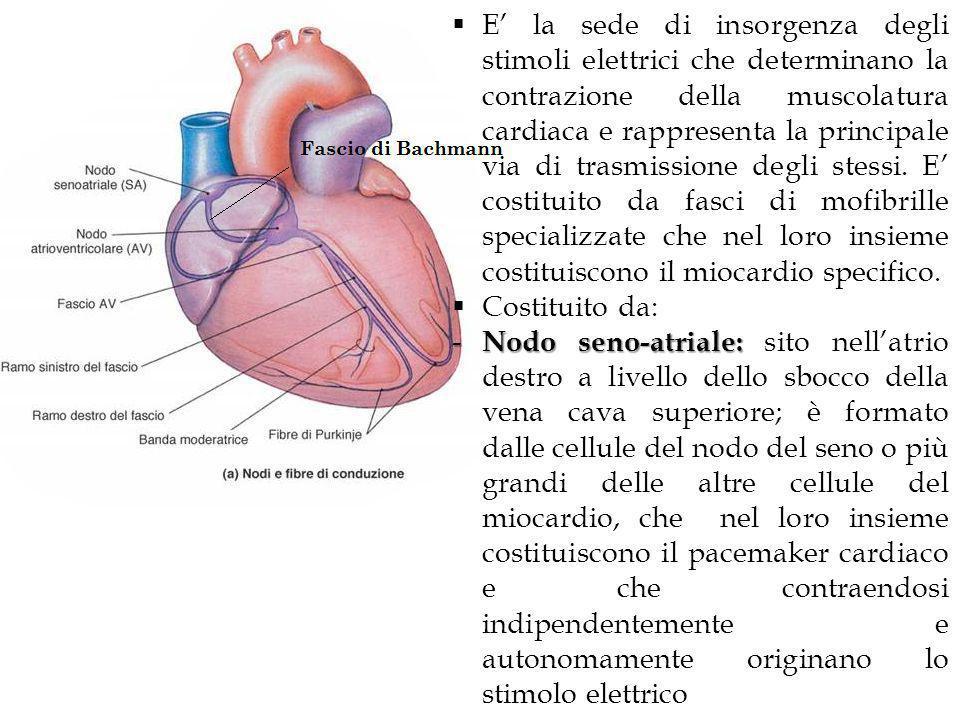 E' la sede di insorgenza degli stimoli elettrici che determinano la contrazione della muscolatura cardiaca e rappresenta la principale via di trasmissione degli stessi. E' costituito da fasci di mofibrille specializzate che nel loro insieme costituiscono il miocardio specifico.