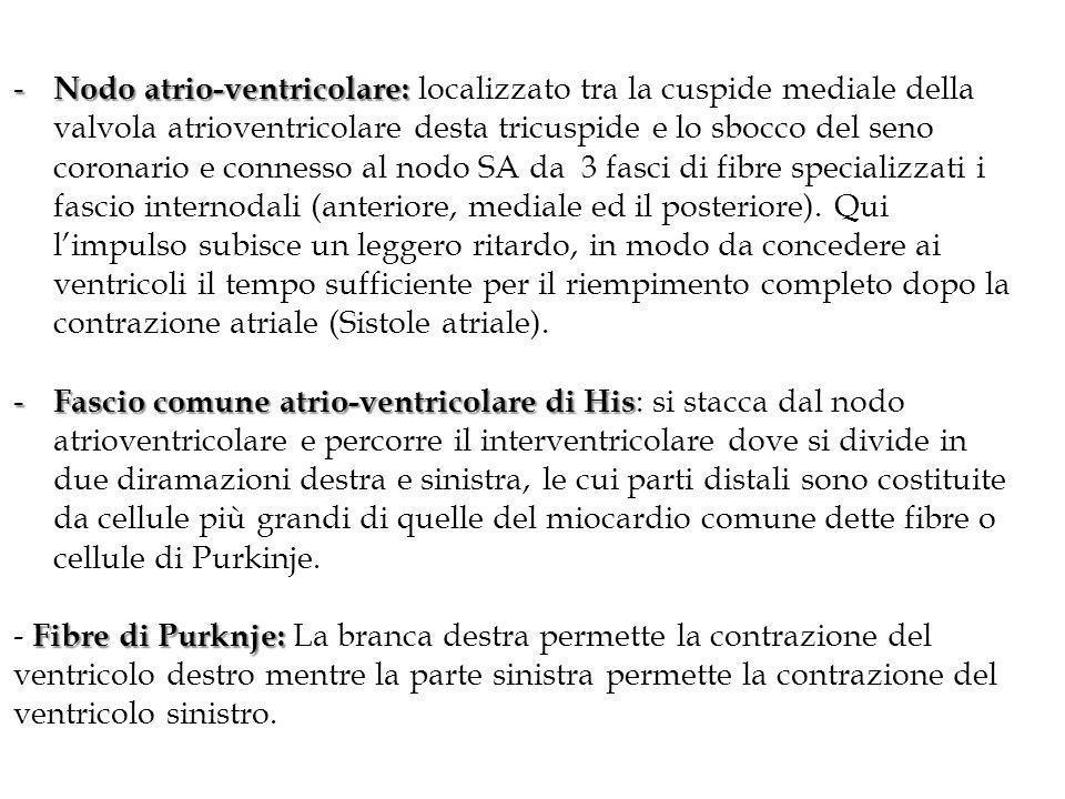 Nodo atrio-ventricolare: localizzato tra la cuspide mediale della valvola atrioventricolare desta tricuspide e lo sbocco del seno coronario e connesso al nodo SA da 3 fasci di fibre specializzati i fascio internodali (anteriore, mediale ed il posteriore). Qui l'impulso subisce un leggero ritardo, in modo da concedere ai ventricoli il tempo sufficiente per il riempimento completo dopo la contrazione atriale (Sistole atriale).
