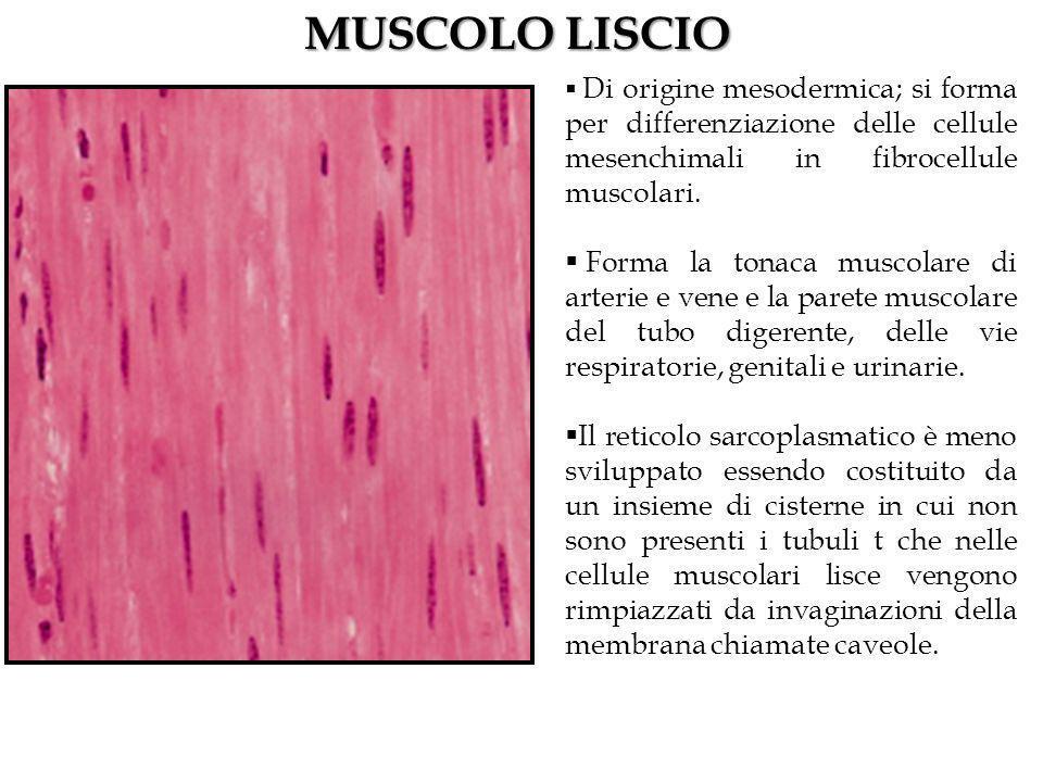 MUSCOLO LISCIO Di origine mesodermica; si forma per differenziazione delle cellule mesenchimali in fibrocellule muscolari.