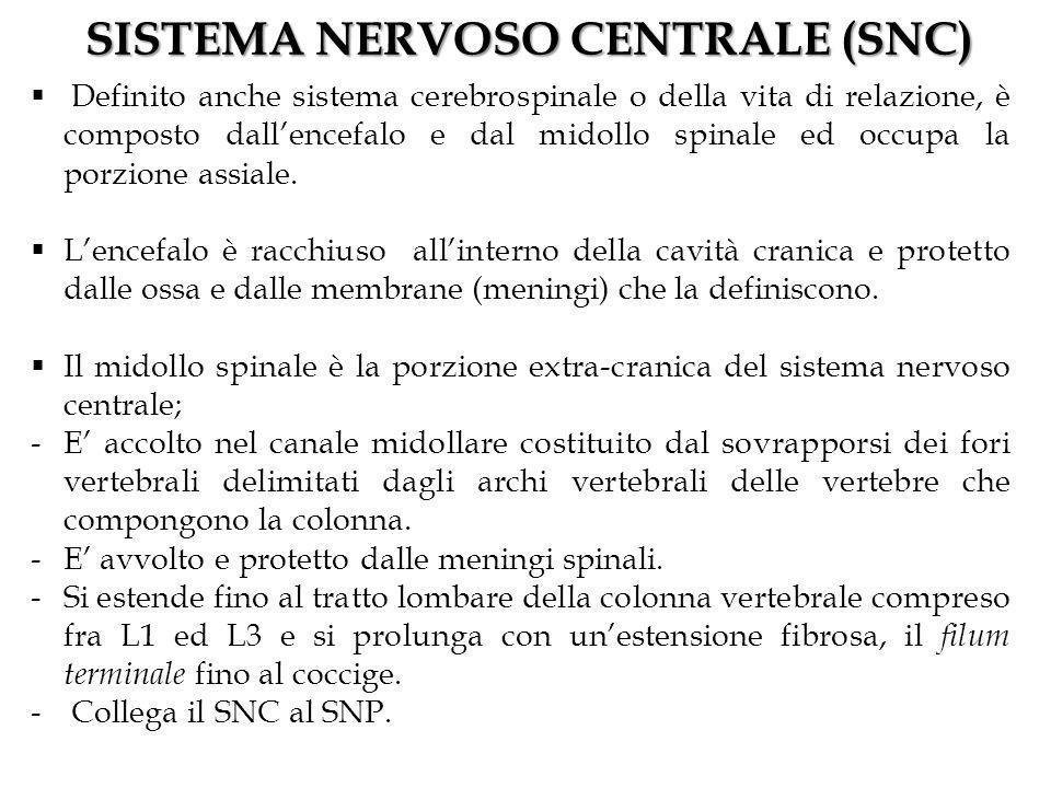 SISTEMA NERVOSO CENTRALE (SNC)