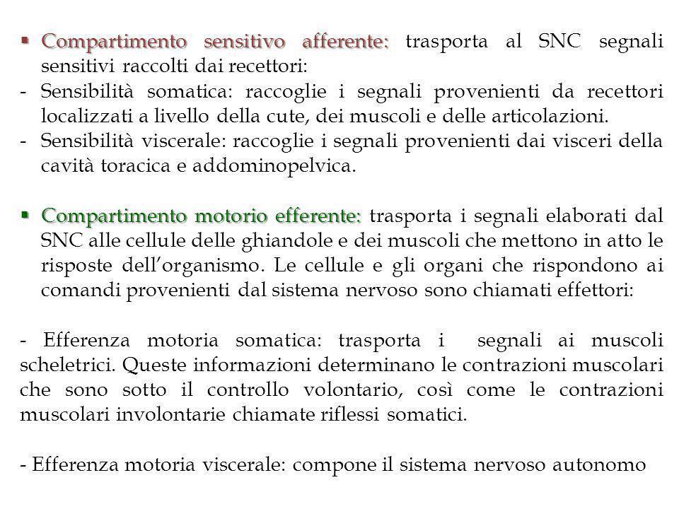 Compartimento sensitivo afferente: trasporta al SNC segnali sensitivi raccolti dai recettori: