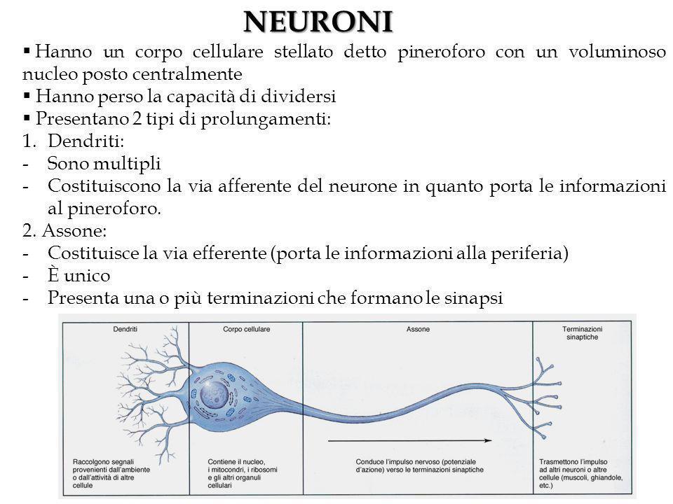 NEURONI Hanno un corpo cellulare stellato detto pineroforo con un voluminoso nucleo posto centralmente.