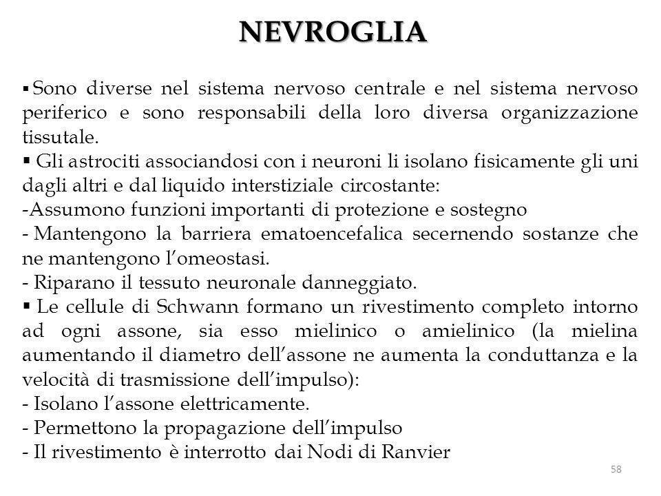 NEVROGLIA Sono diverse nel sistema nervoso centrale e nel sistema nervoso periferico e sono responsabili della loro diversa organizzazione tissutale.