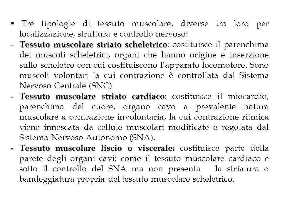 Tre tipologie di tessuto muscolare, diverse tra loro per localizzazione, struttura e controllo nervoso: