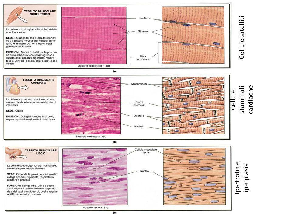 Cellule staminali cardiache