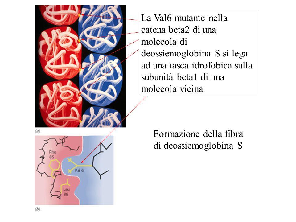 La Val6 mutante nella catena beta2 di una molecola di deossiemoglobina S si lega ad una tasca idrofobica sulla subunità beta1 di una molecola vicina