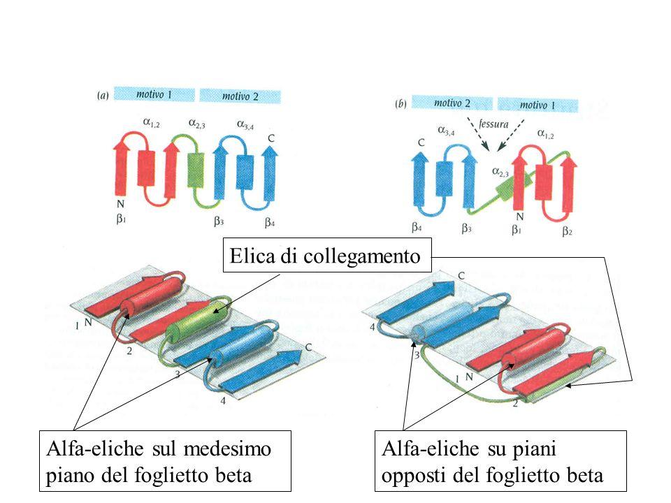Elica di collegamento Alfa-eliche sul medesimo piano del foglietto beta.