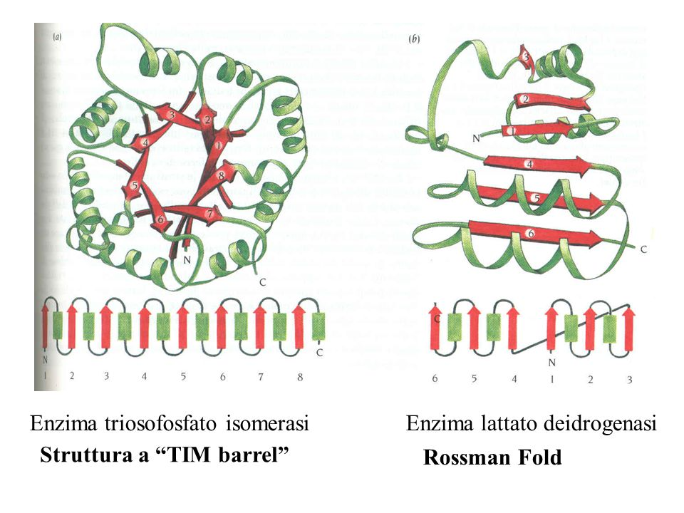Enzima triosofosfato isomerasi