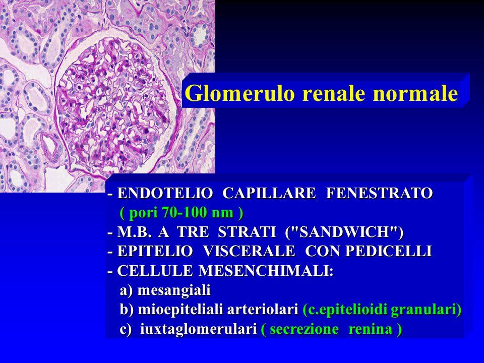 Glomerulo renale normale