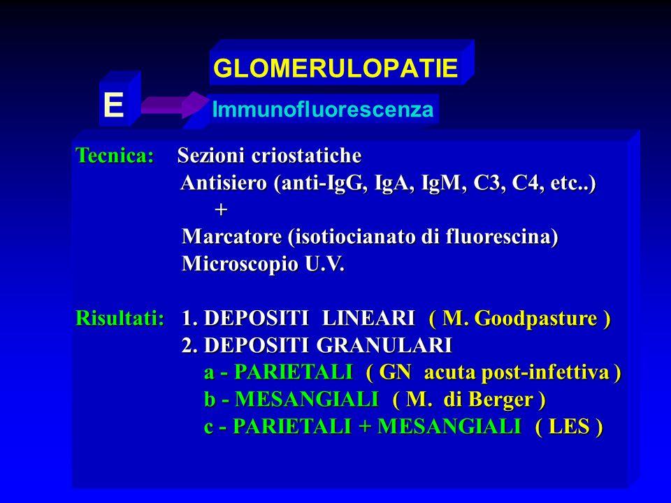 E GLOMERULOPATIE Immunofluorescenza Tecnica: Sezioni criostatiche