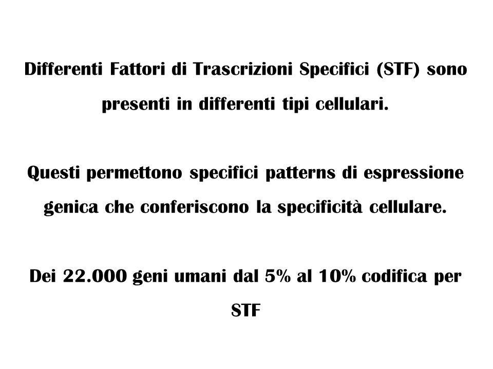 Dei 22.000 geni umani dal 5% al 10% codifica per STF