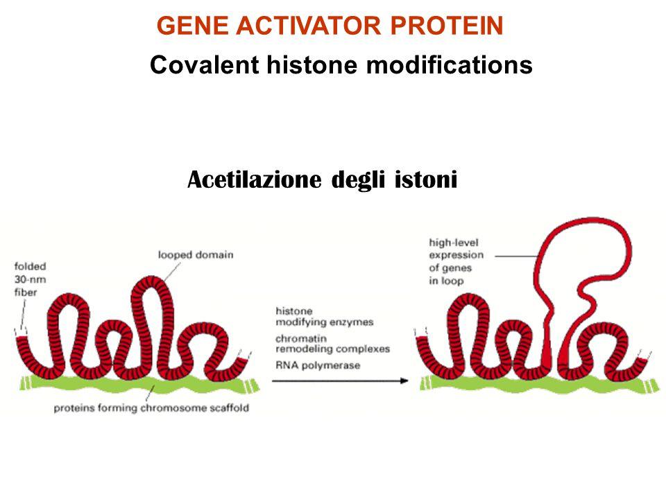GENE ACTIVATOR PROTEIN