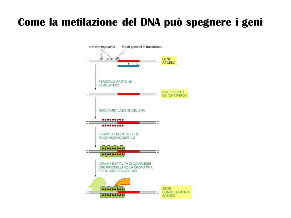Come la metilazione del DNA può spegnere i geni